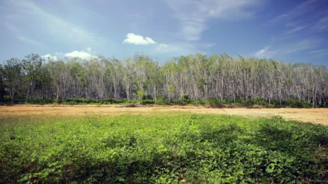 stockvideo's en b-roll-footage met ws rubber plantation - rubber