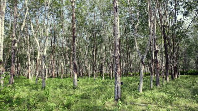 MS Rubber plantation