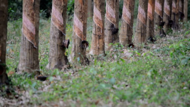 rubber plantation - rubber stock videos & royalty-free footage
