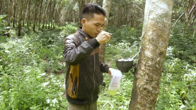 vídeos de stock, filmes e b-roll de rubber sap is collected in bowls at a rubber plantation in huay din jee village bokeo province laos on july 30 2017 - látex borracha