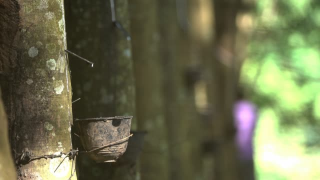 rubber tapping - rubber tree stock videos & royalty-free footage