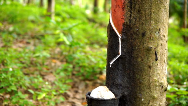 rubber tree (hevea brasiliensis) harvest - rubber stock videos & royalty-free footage