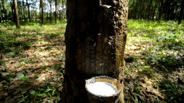 vídeos de stock, filmes e b-roll de árvore da borracha, movimento de câmera pan - árvore da borracha