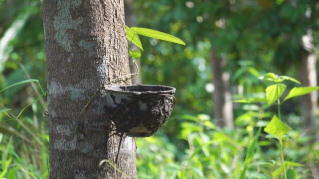 4 k ゴムの木 (ヒベアパラゴムノキ) は、ラテックスを生成します。トランクの外面でナイフの切口の使用によって。牛乳のようなラテックスは、手袋、コンドーム、タイヤ、タイヤなどに実� - ラテックス点の映像素材/bロール