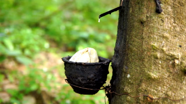 Rubber Tree (Hevea brasiliensis) Tapping Sap Harvest