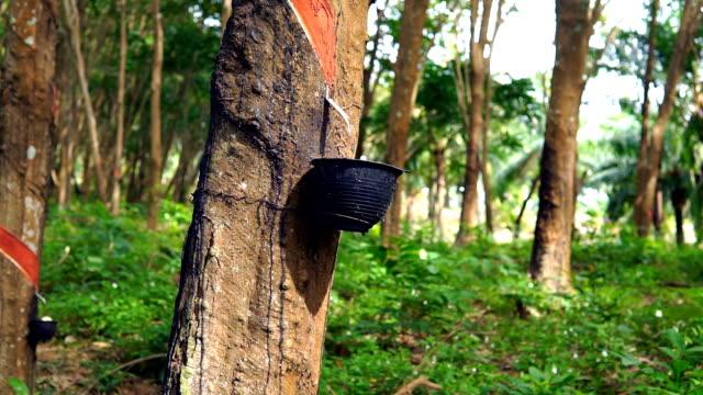 Rubber Tree (Hevea brasiliensis) Tapping Sap
