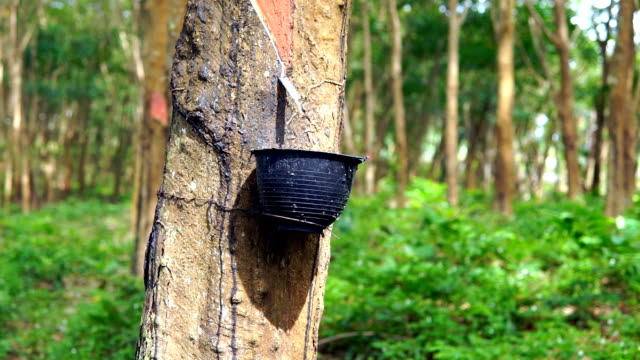 rubber tree (hevea brasiliensis) tapping sap - ko lanta stock videos & royalty-free footage