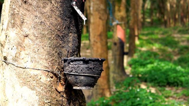 ゴムの木 (パラゴムの brasiliensis) タップ sap - ラテックス点の映像素材/bロール