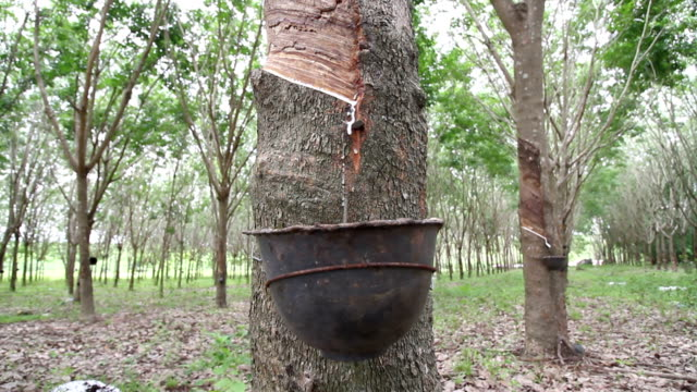 rubber tree - rubber tree stock videos & royalty-free footage