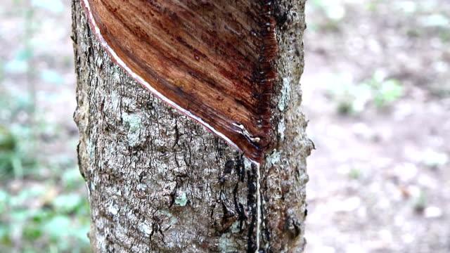 vídeos de stock, filmes e b-roll de seringueira - árvore da borracha