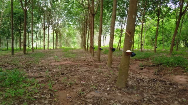 rubber tree - rubber stock videos & royalty-free footage