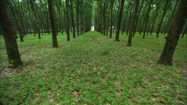 rubber trees grow evenly spaced apart on a plantation. - plantation stock videos & royalty-free footage