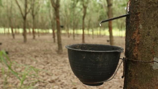 gummi-bäumen - tropischer baum stock-videos und b-roll-filmmaterial