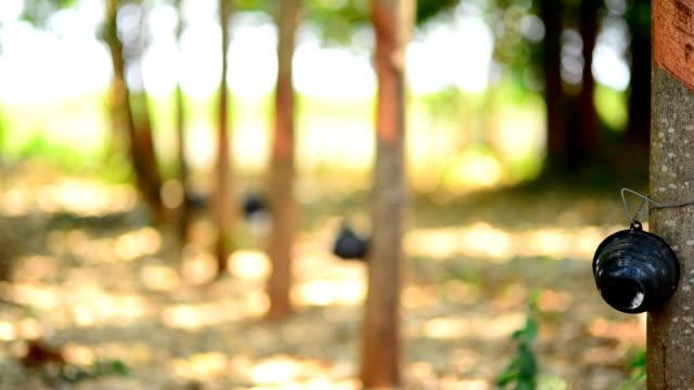 vídeos de stock, filmes e b-roll de árvores de borracha - árvore da borracha