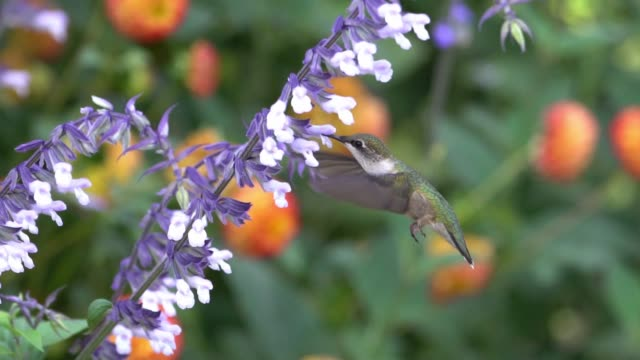 ruby throated hummingbird slow motion feeding - ruby throated hummingbird stock videos and b-roll footage