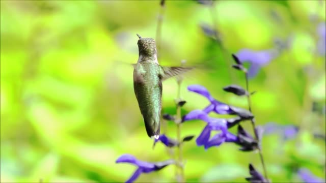 ruby throated hummingbird slow motion video - ruby throated hummingbird stock videos and b-roll footage
