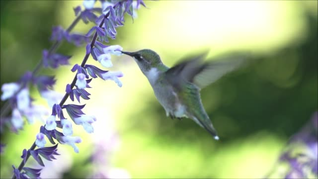 ruby throated hummingbird slow motion video - 受粉点の映像素材/bロール