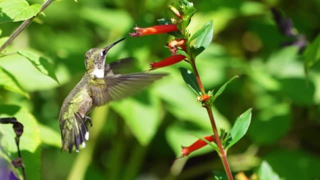 ruby throated hummingbird slow motion video - kolibri stock-videos und b-roll-filmmaterial