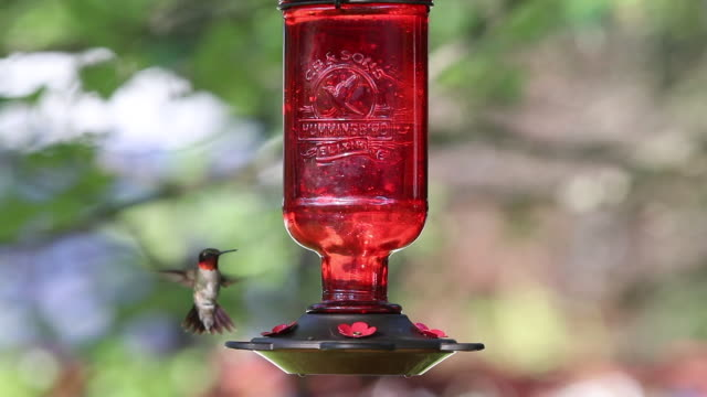 ruby-throated hummingbird clip 1 - ruby throated hummingbird stock videos and b-roll footage