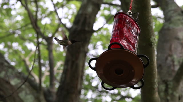 ruby-throated hummingbird clip 3 - ruby throated hummingbird stock videos and b-roll footage