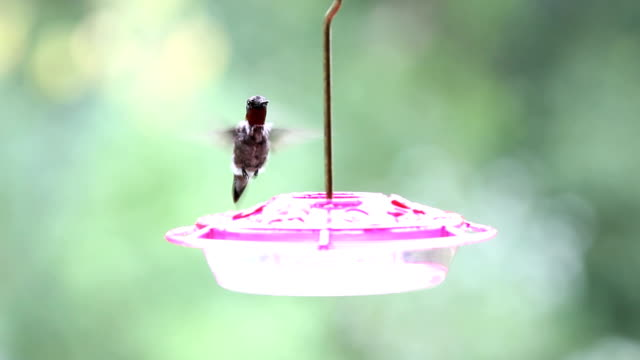 ruby-throated hummingbird - ruby throated hummingbird stock videos and b-roll footage
