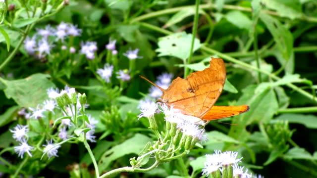 vidéos et rushes de ruddy daggerwing papillon - des papillons dans le ventre