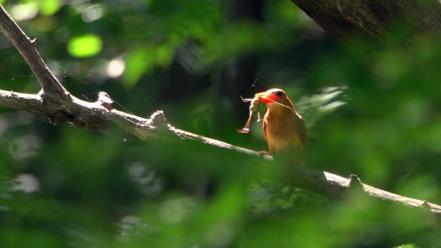ruddy kingfisher having its food in mouth at uljin geumgang pine forest / uljin-gun, gyeongsangbuk-do, south korea - beak stock videos & royalty-free footage