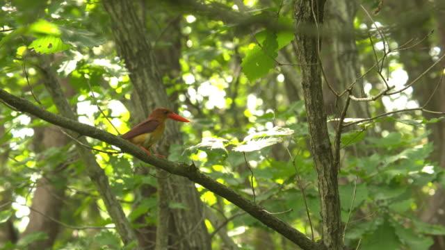 ruddy kingfisher perching on branch / sotae-myeon, chungju-si, chungcheongbuk-do, south korea - perching stock videos & royalty-free footage