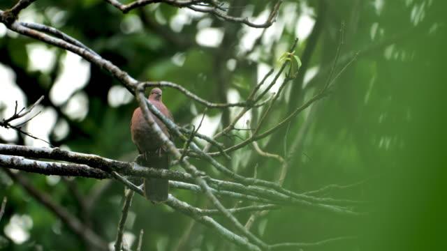 ruddy duva uppflud på ett träd: costa rica - djurbeteende bildbanksvideor och videomaterial från bakom kulisserna