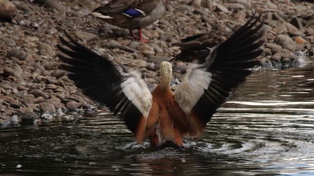 ruddy shelduck (tadorna ferruginea) - wildlife conservation stock videos & royalty-free footage