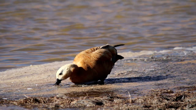 ruddy shelduck - water bird stock videos & royalty-free footage