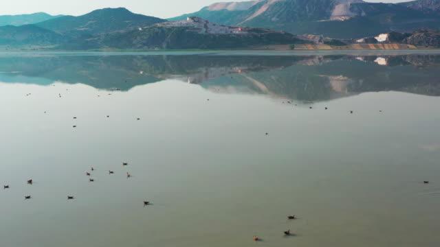 ruddy shelducks på sjön - andfågel bildbanksvideor och videomaterial från bakom kulisserna