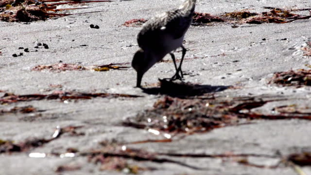 ruddy turnstone in grand canary rocky coast - grand canary stock videos & royalty-free footage