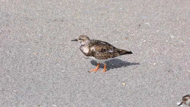 ruddy turnstone, winter plumage, at beach - シギ科点の映像素材/bロール