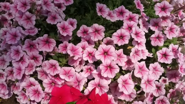 Ruellia tuberosa flower, Mexican Petunia flower in garden