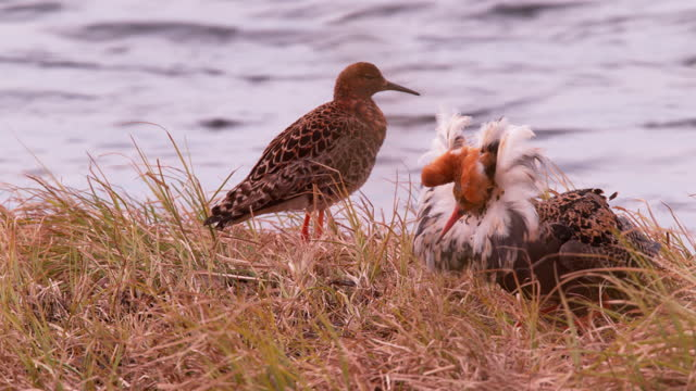 ruff courting / sweden - documentary footage stock videos & royalty-free footage