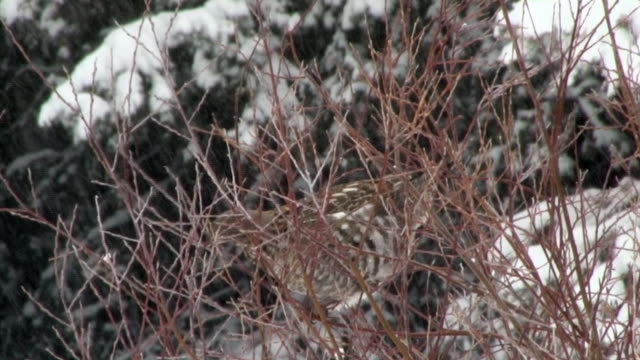 Ruffed Grouse in willow bush, eating, Yellowstone National Park, Wyoming in winter