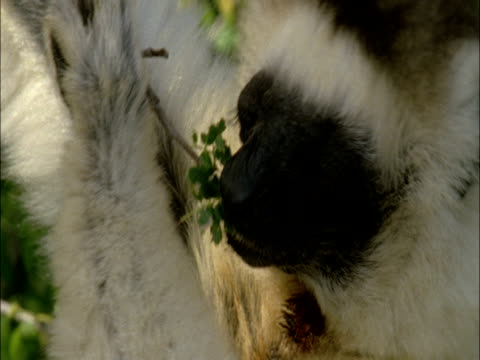 stockvideo's en b-roll-footage met a ruffed lemur chews plant leaves as it clings to branches. - plantdeel