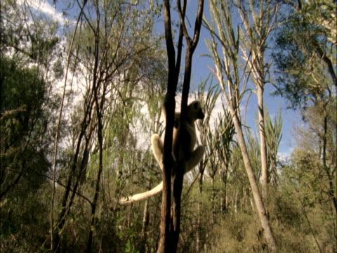 vidéos et rushes de a ruffed lemur clings to a slender tree. - arbre tropical