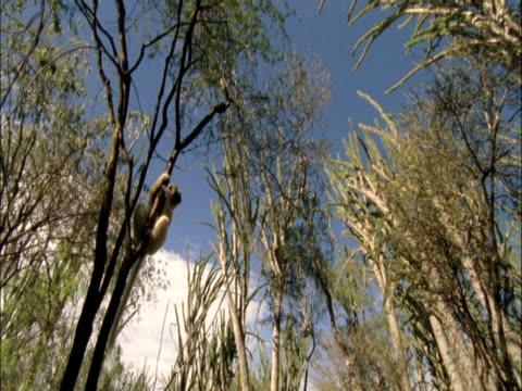 a ruffed lemur clings to a slender tree. - 熱帯の木点の映像素材/bロール