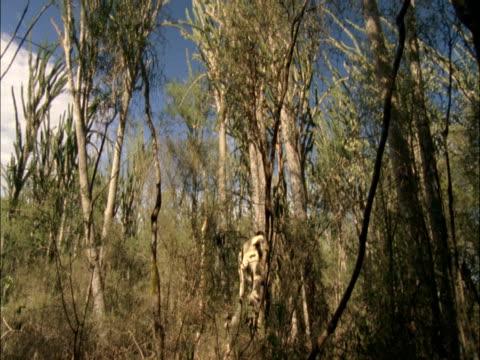 vidéos et rushes de a ruffed lemur jumps from tree to tree. - arbre tropical