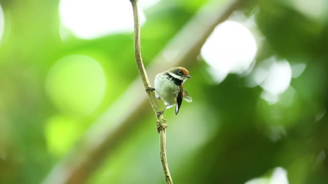 Rufous Fantail bird on vine, flies away, closeup
