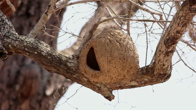 vidéos et rushes de rufous hornero nest, pantanal, brazil - nid