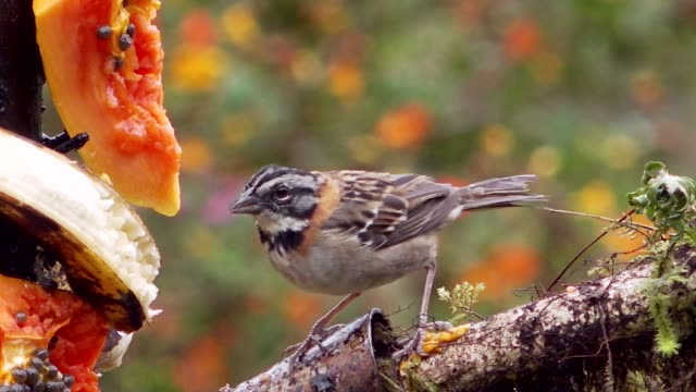 rufous-collared sparrow at feeding station, savegre, costa rica - sparrow stock videos & royalty-free footage
