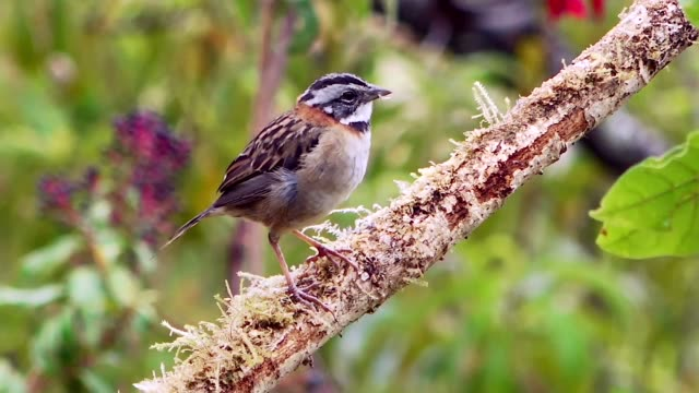 rufous-colored sparrow on branch, savegre, costa rica - sparrow stock videos & royalty-free footage