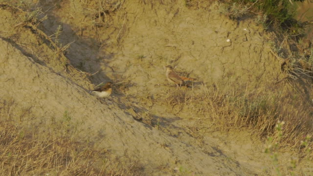 rufous-tailed scrub robin (cercotrichas galactotes) bird song - nightingale bird stock videos & royalty-free footage