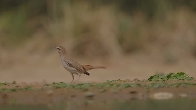 rufous-tailed scrub robin - ネゲブ点の映像素材/bロール
