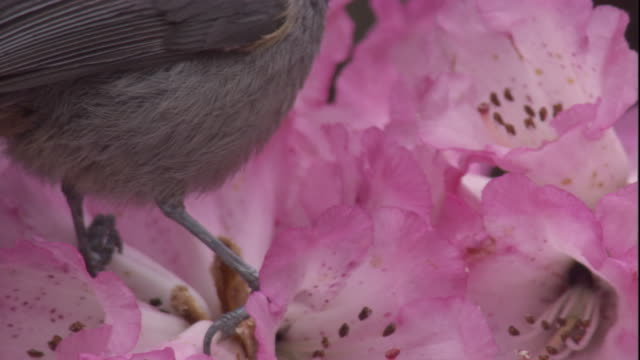 rufous-vented tit feeds on rhododendron blooms, himalayas, nepal available in hd - rhododendron stock videos and b-roll footage