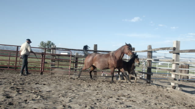 a rugged mature cowboy horseman training a thoroughbred grey quarter horse stud stallion in an arena in western colorado - stallion stock videos & royalty-free footage