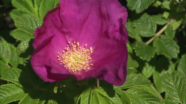 rugosa rose (rosa rugosa) on sarobetsu coast  - ståndare bildbanksvideor och videomaterial från bakom kulisserna